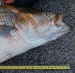 State Record Striped bass caught in Alabama